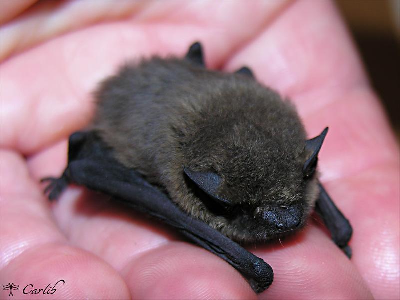Pipistrelle chauve souris pipistrellus chiropt re vespertilionid - Image de chauve souris ...